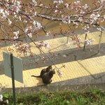 ちょっとかなり癒やされるw猫たちが春の訪れを感じさせてくれる花見写真