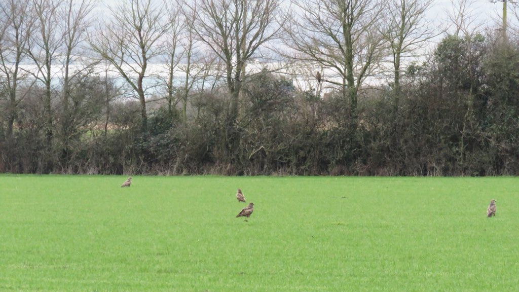 @timmackrill Several times, up on tip toes during this sighting as fortunately the hedgerows are so high with over 30+ worming alongside mole hills