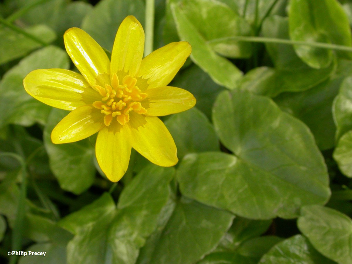 The Wildlife Trusts On Twitter Lesser Celandine Is A Beautiful