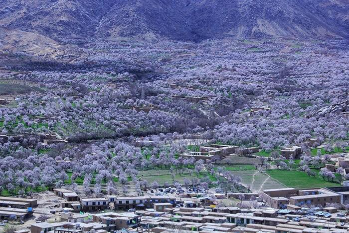 This is central Afghanistan's Daikundi province where its almond quality is famous, and you see those blossoms in spring... pic by A. Sedaqat #Afghanistan
