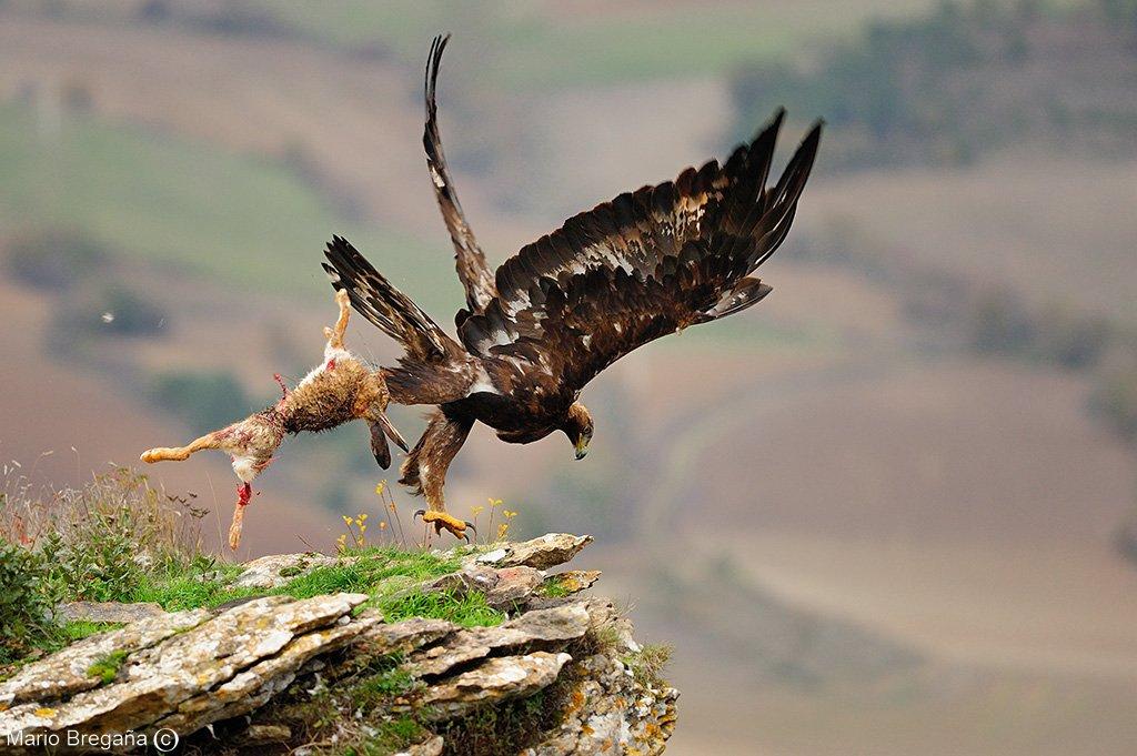 Un macho de Aguila Real cazando una libre eb una roca