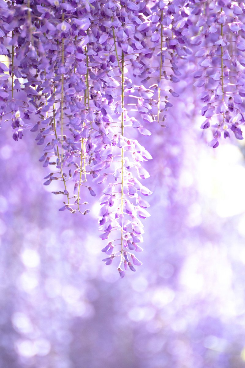 藤 高貴な紫色の花。滴り落ちる滝のような花姿が優雅でたおやかな春の風物詩。  花言葉:優しさ、歓迎、佳客、決して離れない、恋に酔う、至福の時、陶酔する恋