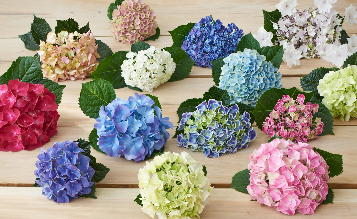 Flower Council On Twitter A Forever Favourite In The Uk Hydrangea