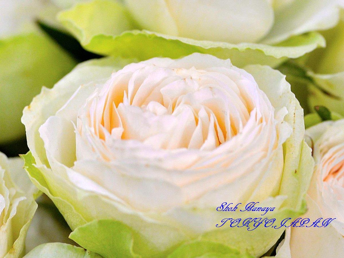 ラソワ  2 / 2 #国際バラとガーデニングショウ #メットライフドーム #西武ドーム #バラ #roses #flowers #floral #photography #floralphotography