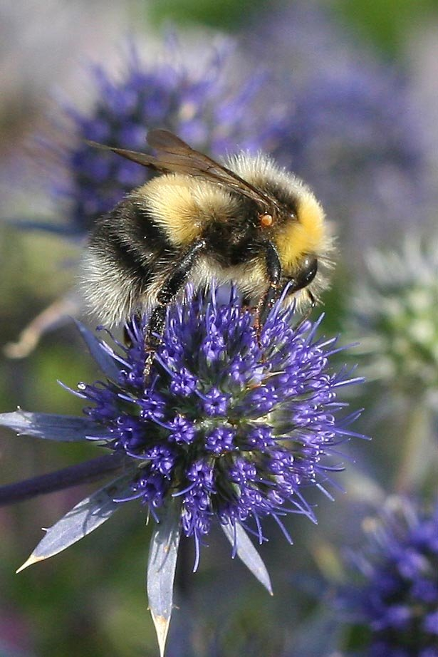 We wish to share our most recent guest blog, written by two of our dedicated & much appreciated BeeWalkers, Margaret & Lily Alston! Be inspired & read how they carry out #BeeWalk (our national #bumblebee survey), click here: ow.ly/TpfA30iReiw #volunteer #inspire