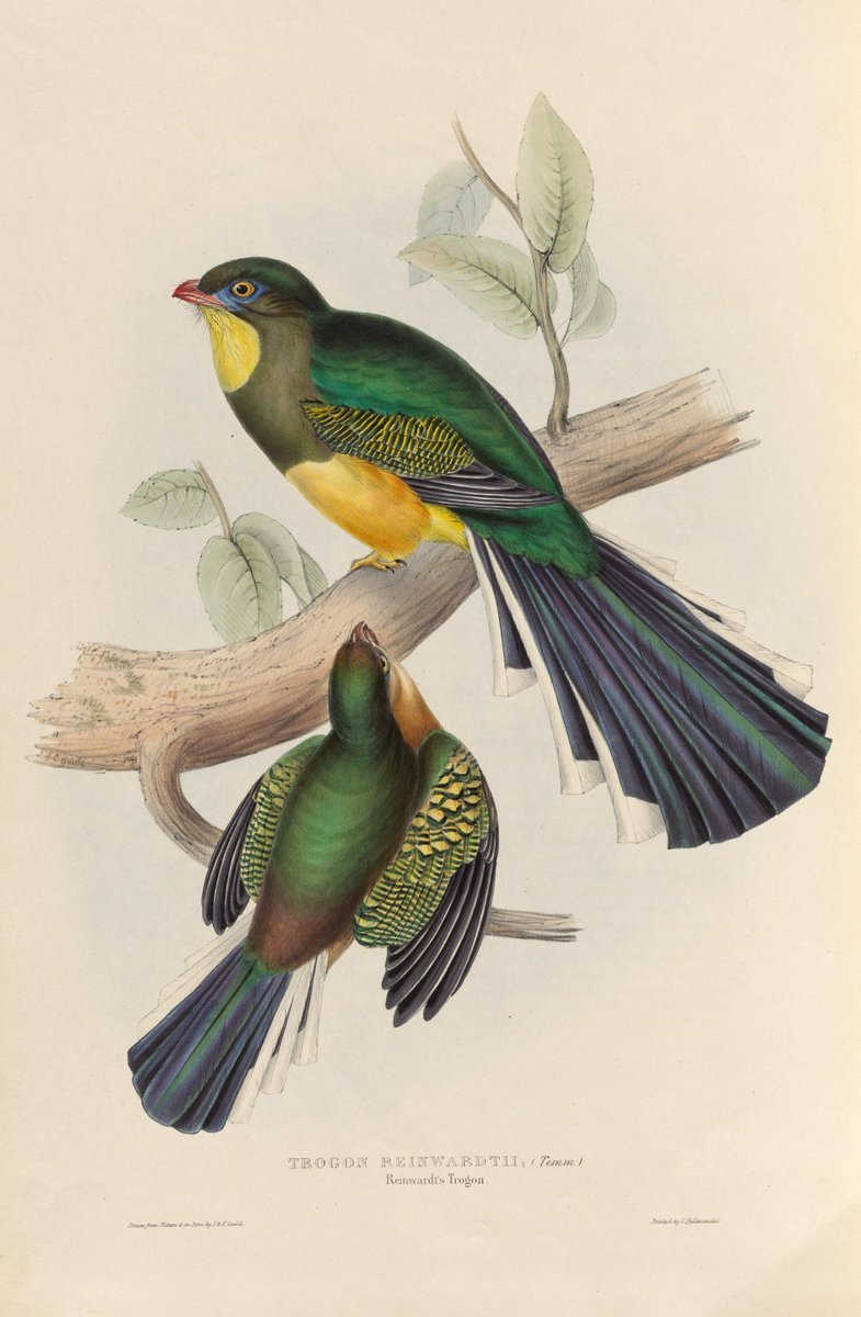 Javan Trogon (Apalharpactes reinwardtii). Exquisite #SciArt by Elizabeth Gould and John Gould, Monograph of the Trogonidae, or Family of #Trogons, P.1 (1835). Thanks to @mayrlibrary for digitizing in @BioDivLibrary: ow.ly/2X1230iUmv0 - #WomensHistoryMonth #WomeninHistSciArt