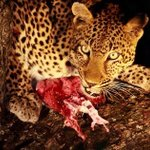 Image for the Tweet beginning: Carnivores no more. Not your