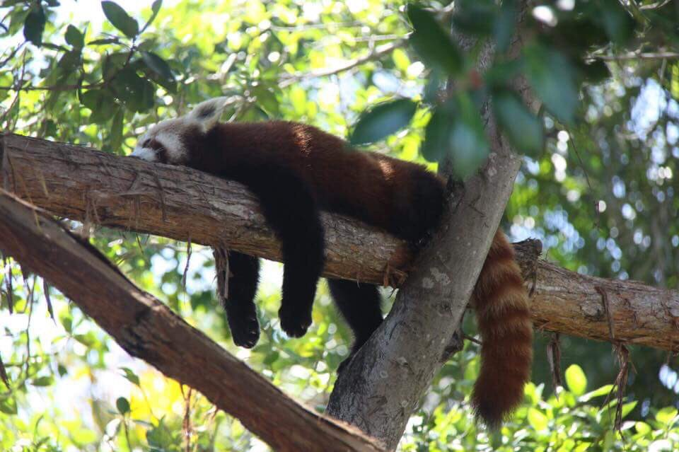 We should all take a page out of Ravi the red panda's book this #NationalNappingDay 😴❤️📷: Bek McKee