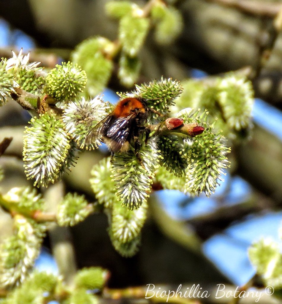 Checking in up high on my #Beewalk today. Absolutely festooned with early Queen bumblebees feeding on the nectar rich Salix caprea ~ Pussy Willow catkins. A perfect patch to return and survey for: bumblebeeconservation.org/brilliant-beew… @BumblebeeTrust