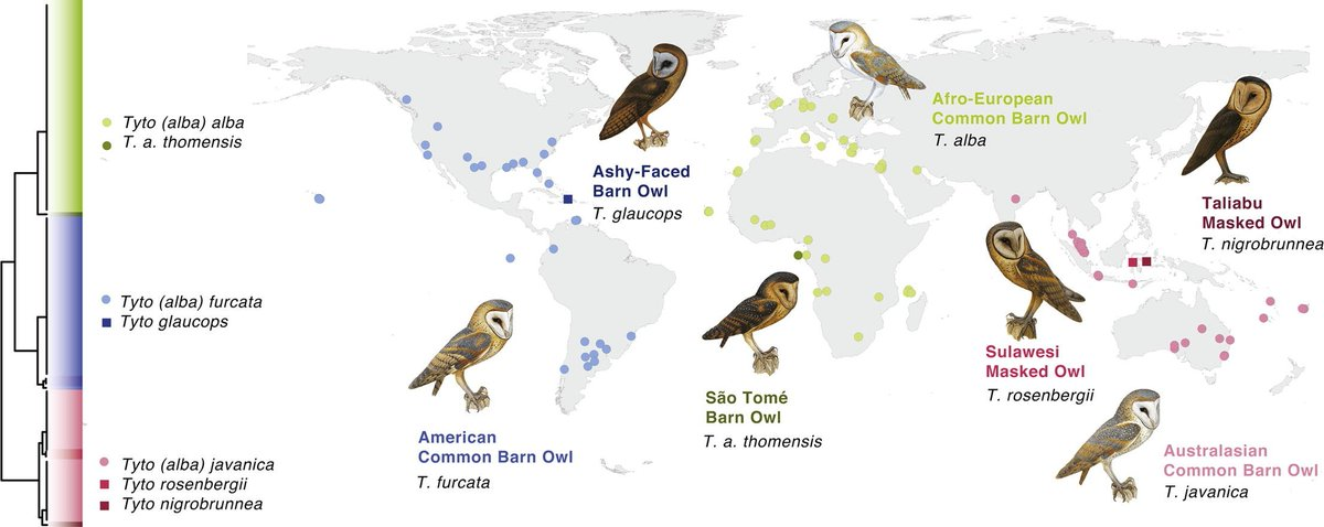 Tyto is one of the most cosmopolitan genera of birds. New study suggests some splits including the American Barn Owl (T. furcata) sciencedirect.com/science/articl…
