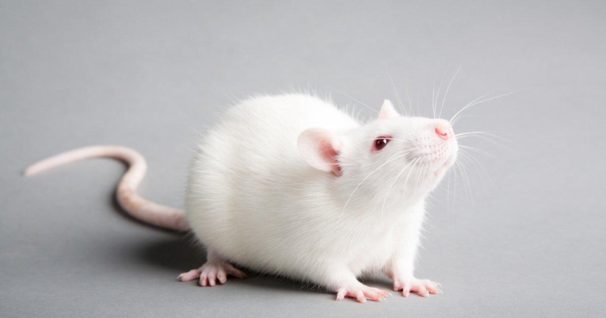 Иркутские ученые защитили мышей от свиного гриппа https://t.co/vHTwIKUTD9