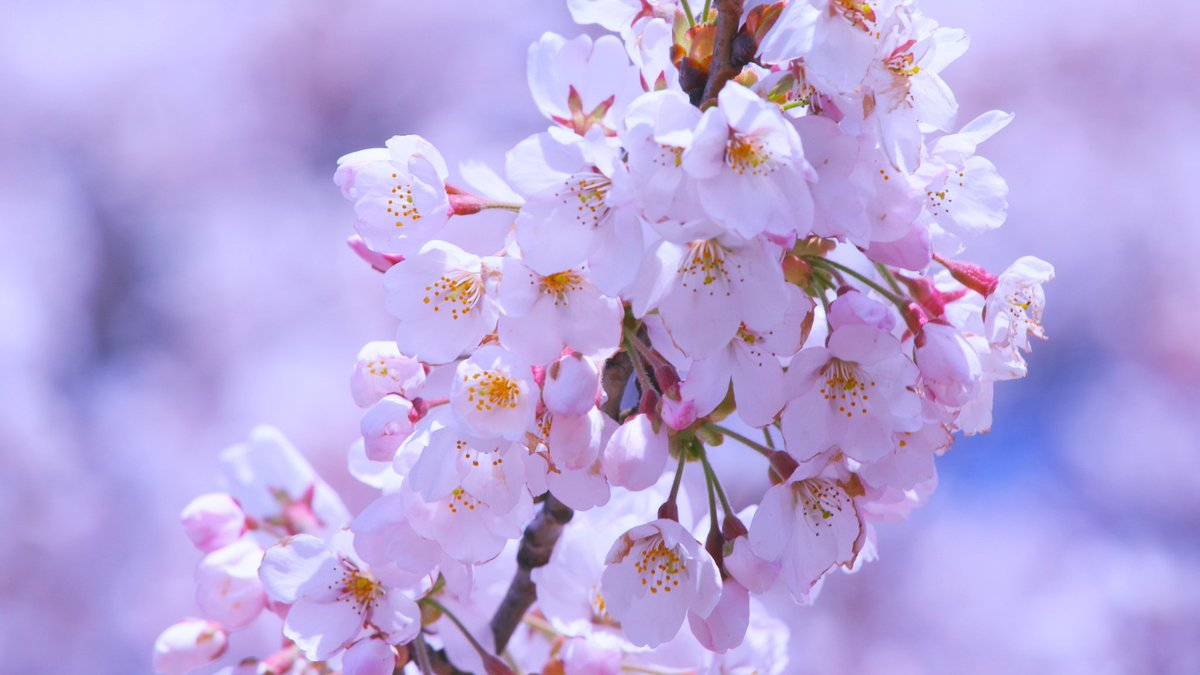Visit An On Twitter 20 Cherry Blossom Tree Facts There S More To These Pretty Flowers Than Meets The Eye Https T Co Lskbwc6v72 Via