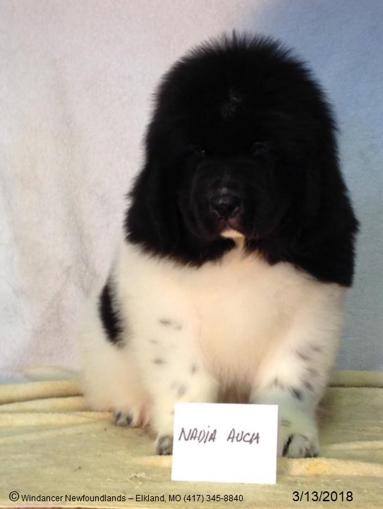 Windancer Newfoundlands On Twitter Blk Wht Landseer Puppy Born