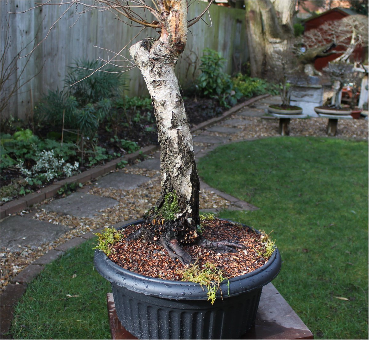 Harry Harrington On Twitter After A Visit Yesterday From Alex Of The Ebpc And Thor Holvila I Headed Off And Collected A Couple Of Large Betula Pendula Silver Birch Including This Beauty Now