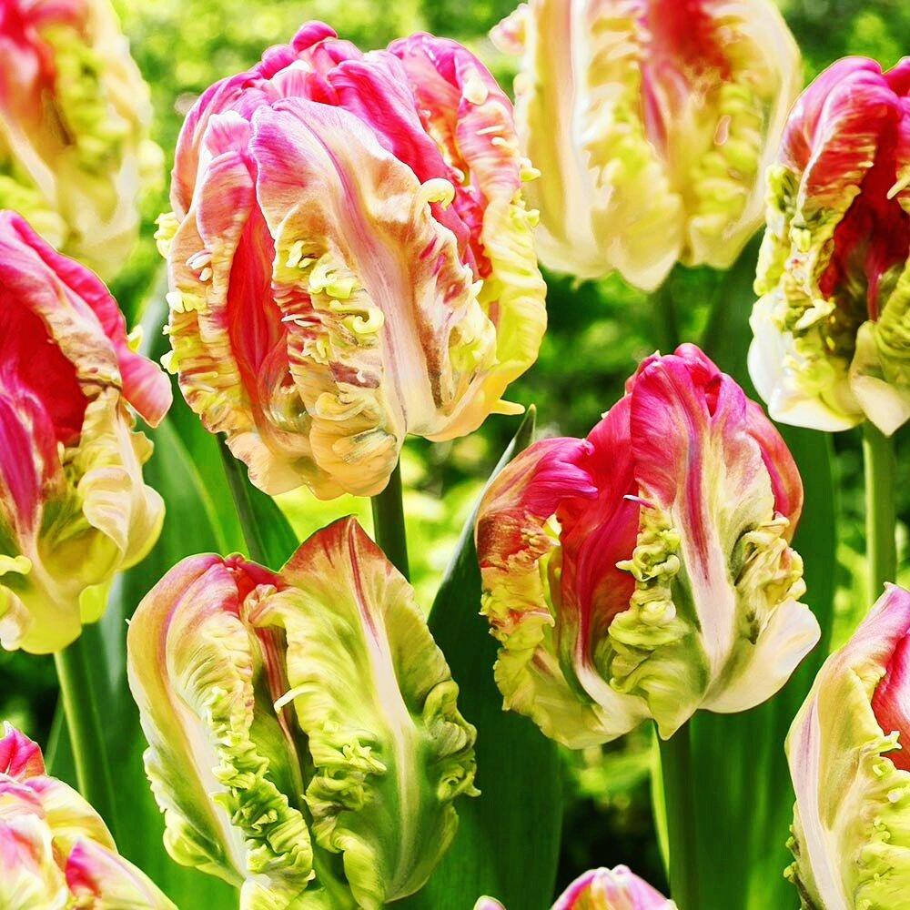 есть зеленые попугайные тюльпаны фото часть