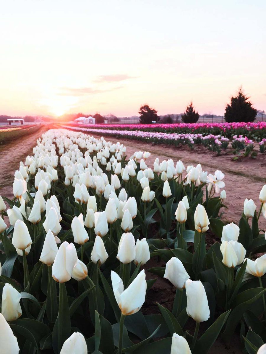 Thousands of gorgeous tulips in bloom at Texas-Tulips!