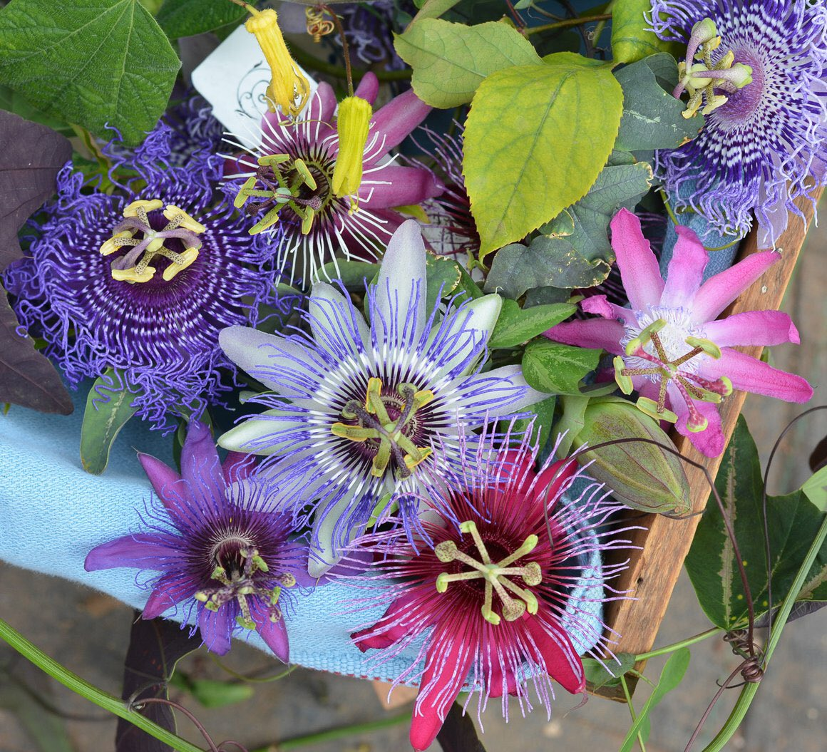 Oh No On Twitter I Just Wanna Tell U About The Passiflora Its The