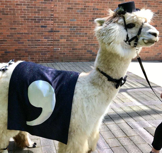 llama wearing a comma