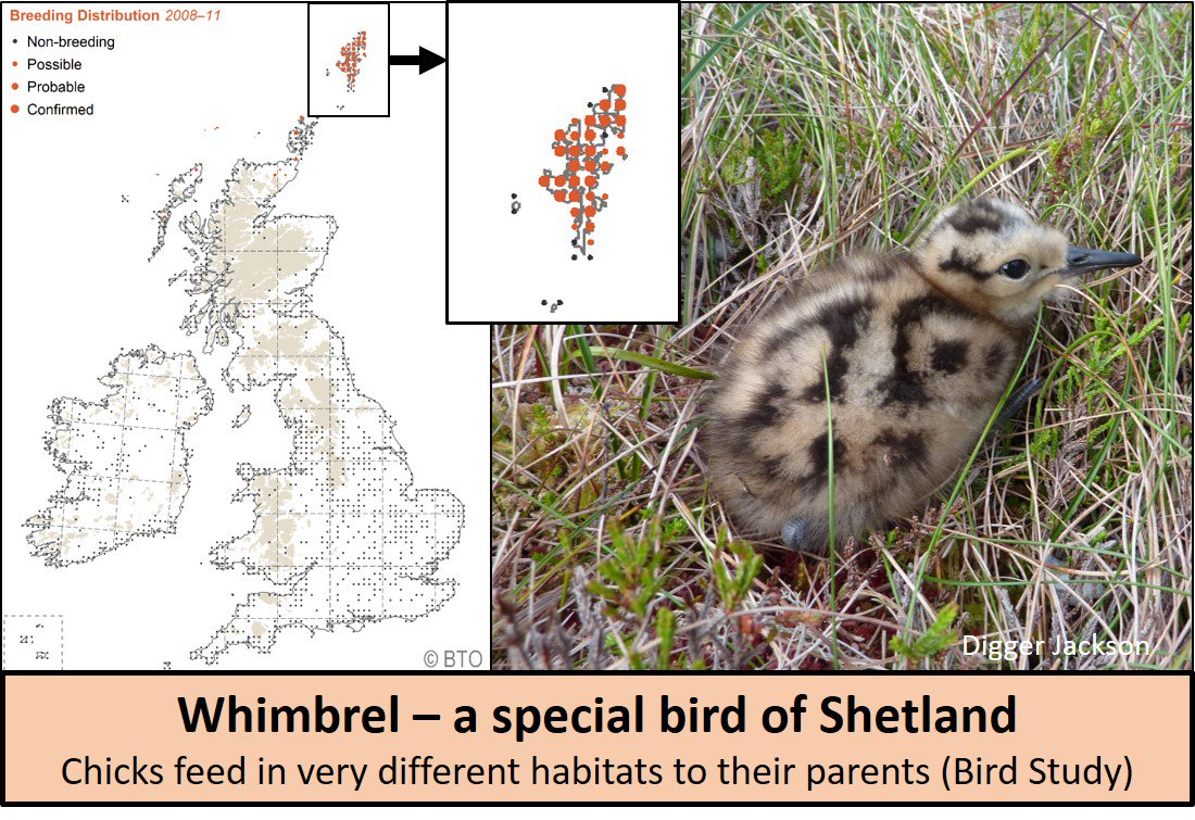 #Curlew folk - If youve not seen this blog/paper about different habitat needs of adult and young whimbrel, it may be worth a look: wadertales.wordpress.com/2016/09/29/est… #ornithology