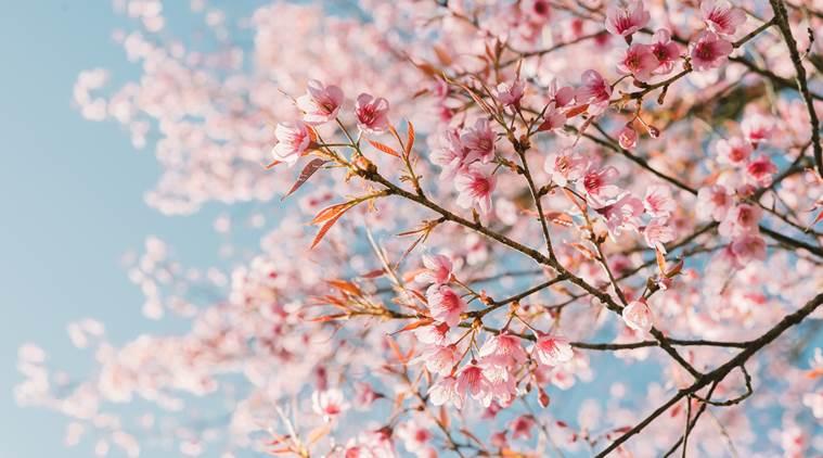 Ciliegi in fiore:sotto ogni alberoun Buddha si mette in mostra.#MarzoCon gli #haiku di Kobayashi Issa@haikuinitaliano @haikuitaly @CasaLettori  - Ukustom