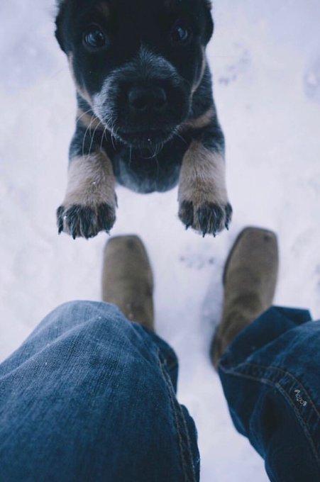 little blue heeler pup reaching up looking for a hug