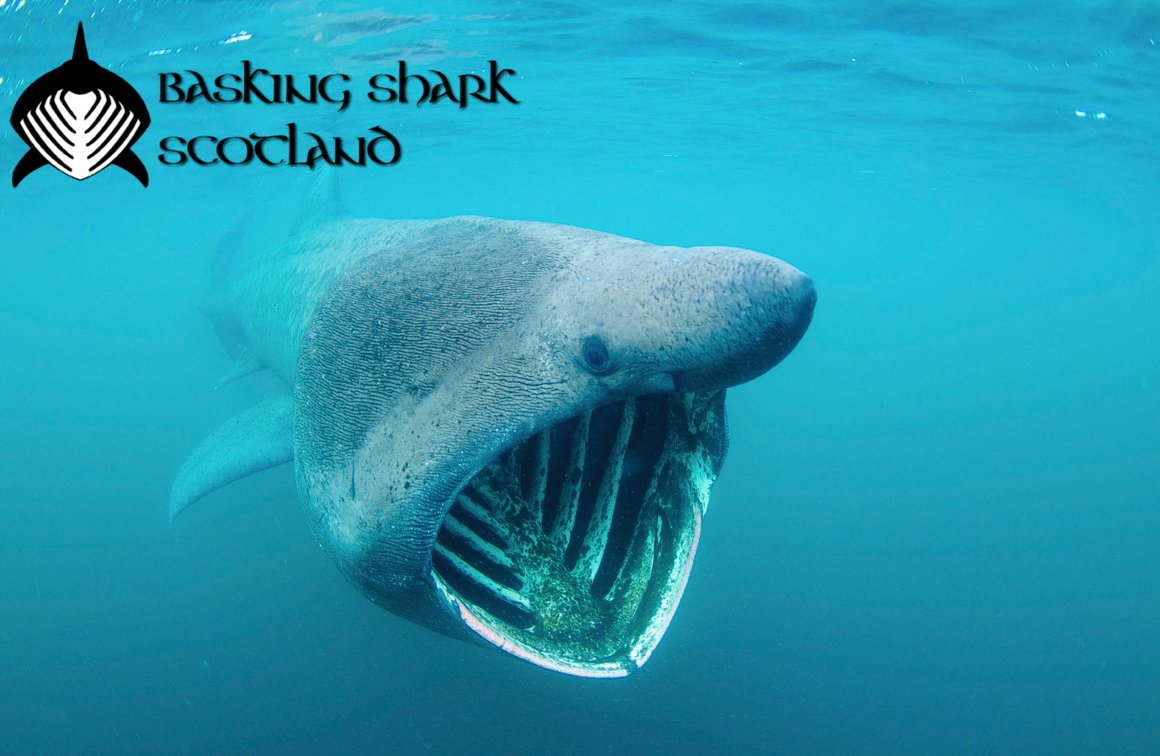 basking shark commentary 20-foot basking shark caught in australia is a rare boon for scientists fishermen in australia didn't intend to haul in a massive basking shark on sunday, but scientists around the world may soon.