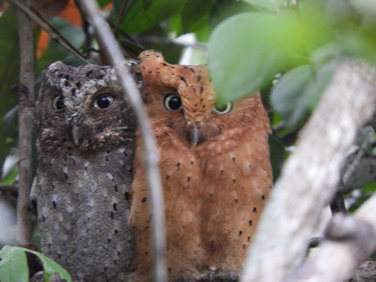 Image result for Sokoke Scops Owl