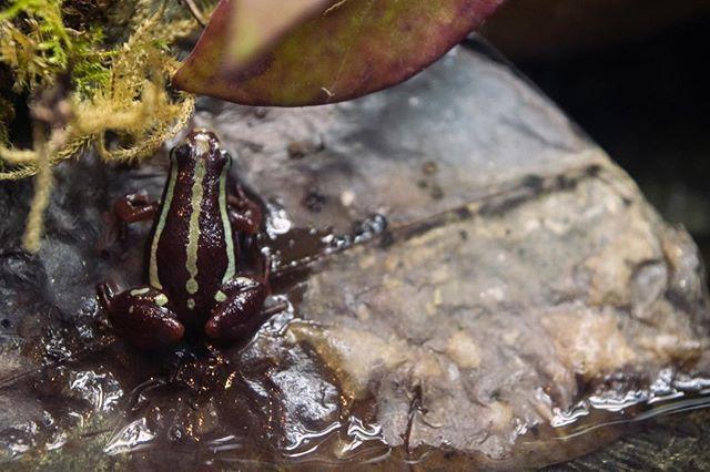 Tricolor poison dart frog. #nikon #nikond3300 #dslr #digital #nikonnofilter #photo #photograph #photography #photohrapher #mintcamera #makeordinarydaysextraordinary #viewbug #gurushots #frog #amphibian #nature #naturephotography #loveaop #aquariummember http://ift.tt/2IvffMUpic.twitter.com/ijdmixlg7p