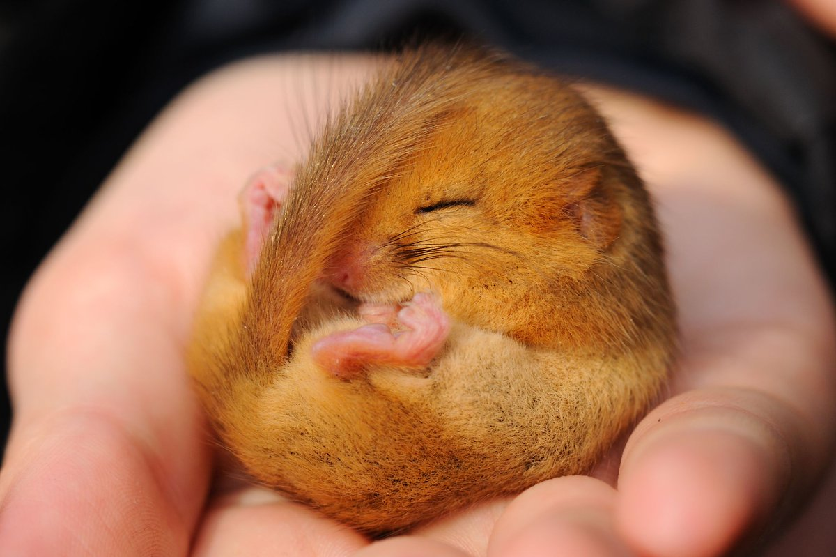 Whether in hibernation or torpor hazel #dormice spend a lot of time #sleeping! Find out more about this adorable mammal at //.woodlandtru.st/E5dNe ... & dormice hashtag on Twitter