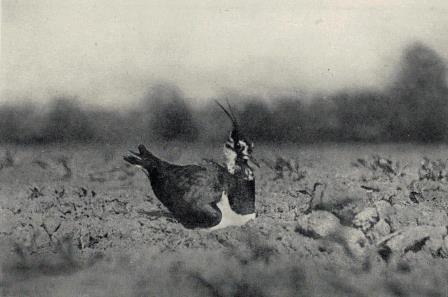 R. B. Lodges photo of a lapwing incubating its eggs, taken in spring 1895. Thought to be the first photograph of a wild bird.