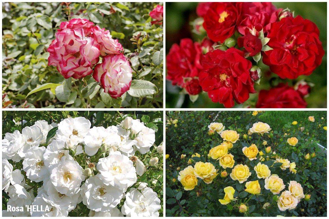 администрация формы и сорта полиантовых роз с фото тебя