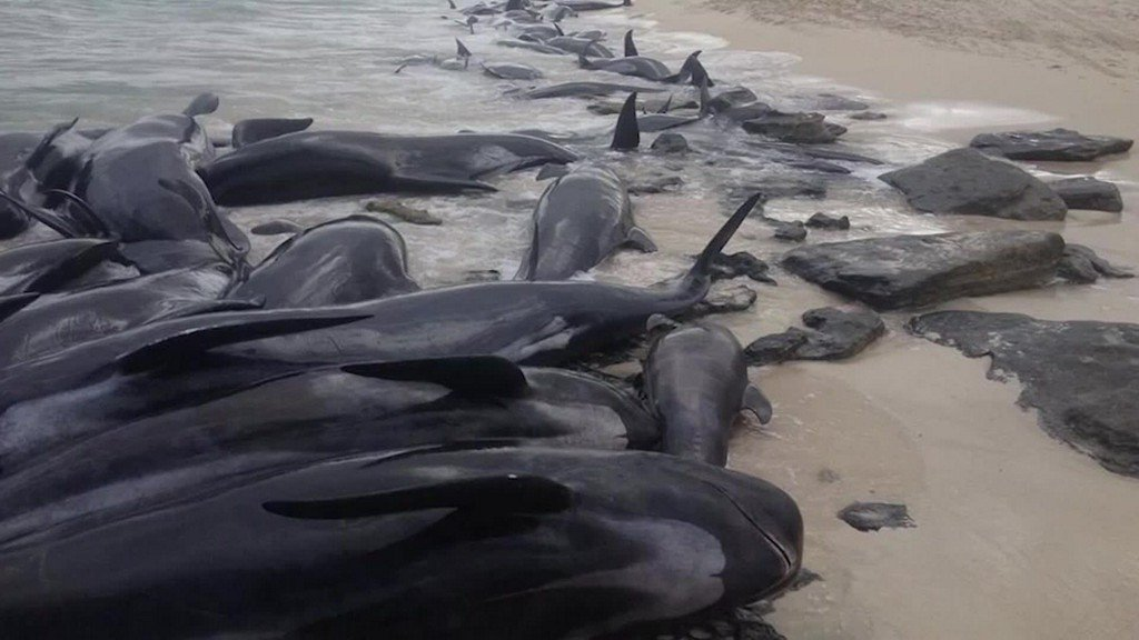Most of over 150 beached whales die on Australian beach https://t.co/ocJA4Sb1qG