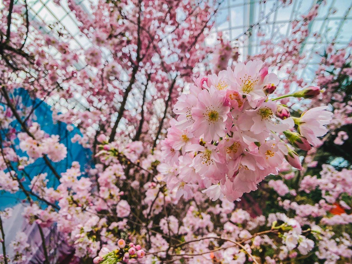 Find Them Along The Walkway At The Side Of Flower Field Hall!  Http://bit.ly/SakuraMatsuri2018 U2026pic.twitter.com/zuZAxGoW4T