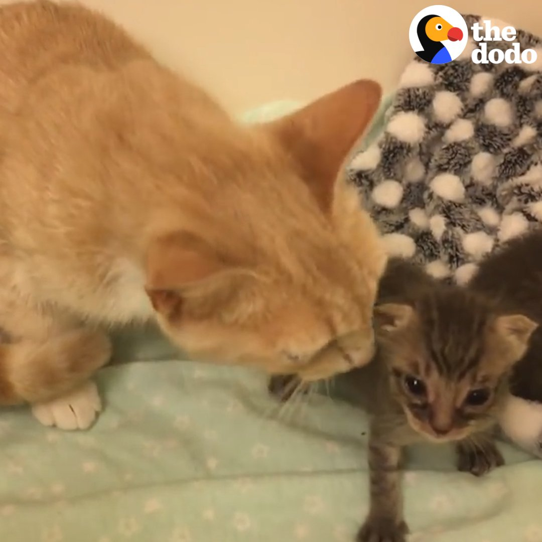 This mother cat is nursing two orphaned...