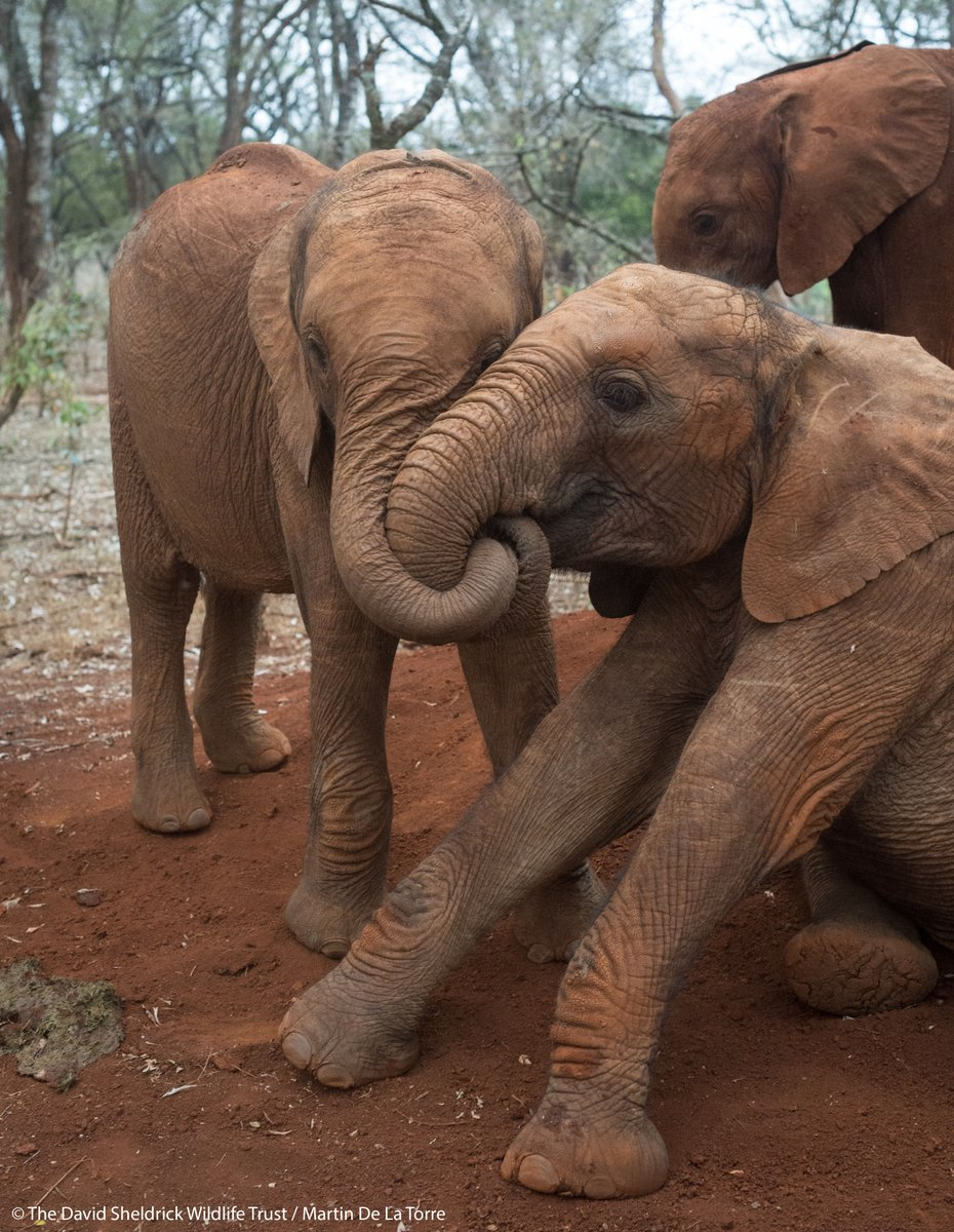 Two tiny lives given a second chance > >  Thanks to your support, our #dswt field teams can now attend to Kenyas most vulnerable orphaned baby elephants, like Malima & Tagwa pictured, & afford them a second chance at life.  Find out more: thedswt.org