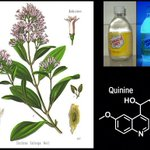 Happy #PhytochemicalFriday! This week, quinine on the mind. A bitter alkaloid from the bark of Chinchoa species (native to South America; Gentianales), still used to treat malaria in some areas, and used for tonic water in others. Fluorescent under UV and even strong sunlight!