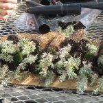 Image for the Tweet beginning: Inmates cultivate sagebrush seedlings as