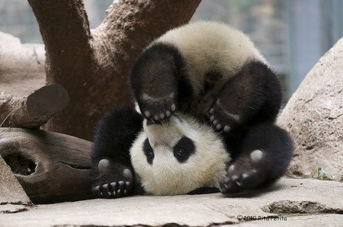 A day without laughter is a day wasted.  Charlie Chaplin #NationalPandaDay https://t.co/zfTEdbpPkS