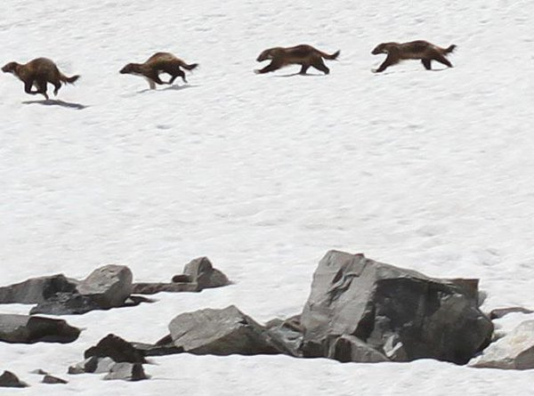 What an awesome #MontanaMoment captured by photographer Chad Harder: A very rare wolverine sighting in the high-country! You can help protect wolverines and the habitat they need by urging Congress to support this #Wilderness bill: bit.ly/2q6rQwS