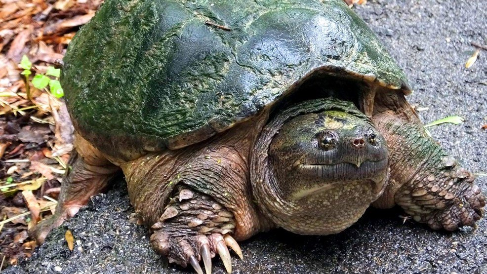 #Idaho officials euthanize a snapping turtle that's at the center of an investigation over whether a teacher gave it a sick puppy to eat.  https://t.co/OgHnjKeFh8