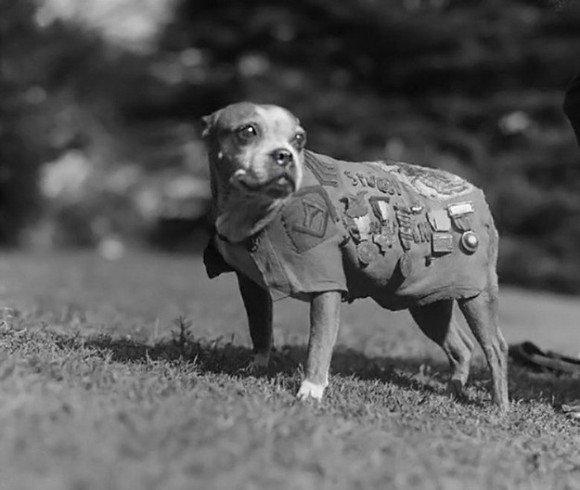 【RT1000UP】 第一次世界大戦中、多くの兵士の命を救い、軍曹にまで上り詰めた犬、「スタビー軍曹」 https://t.co/fmzmC7zXMn