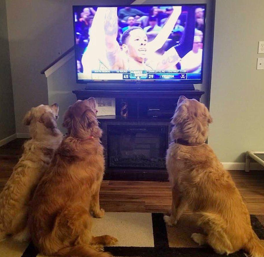 Golden Retrievers watching the Retriever...