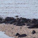 Stephans #Meeresrätsel: Wenn du diesen #Strandvogel bei der #Nahrungssuche beobachtest, weißt du wie er heißt. Kennst du seinen Namen, weißt du wie er sucht. #Watvögel