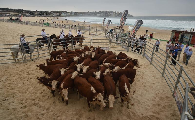 Cows throng #Sydney's #BondiBeach for #A...
