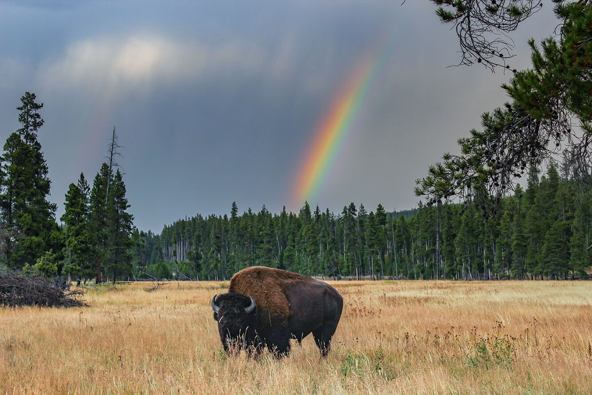 Reloaded twaddle – RT @Interior: Looks like this bison made it to the end of the rainbow @Yellowsto...