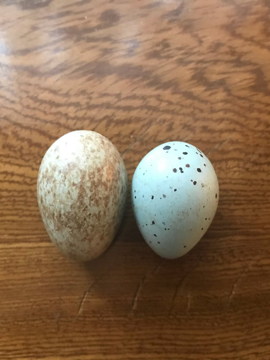 @TheEdibleMuseum @NHM_Oology Blackbirds are quite variable but I think this is one on the left to compare with song thrush. Faded as they are from an old (unlabelled) collection.
