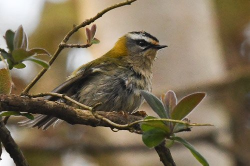 A rather scruffy-looking Firecrest on #HengistburyHead by @wildphotos1<br>http://pic.twitter.com/mScl5cYgtx