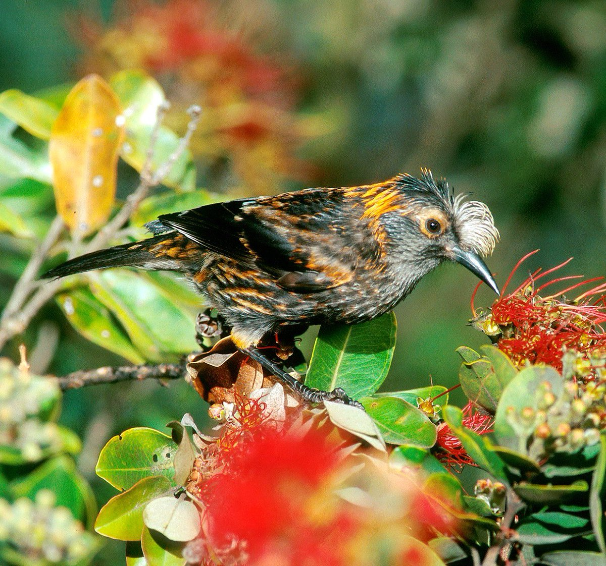A story in the @NYTmag asks, Should some species be allowed to die out? Heres one of the birds we would likely lose if we said yes: the lovely Akohekohe of Hawaii. #NoExtinction buff.ly/2pmHF2P (Photo by Jack Jeffrey)