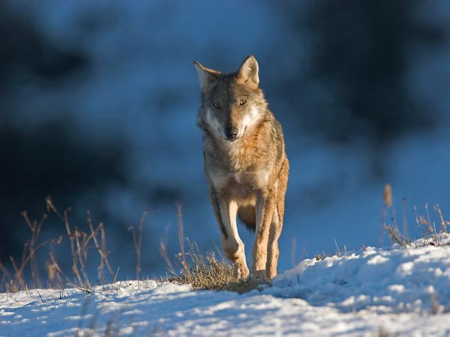 «Abbattiamo i lupi, sono pericolosi». Ma gli scienziati: ucciderli è inutile https://t.co/TK7r2M7Wpu