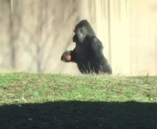 Gorilla At Philly Zoo Walks Upright To Keep Hands Clean For Snacks https://t.co/yWnrEUQTbD